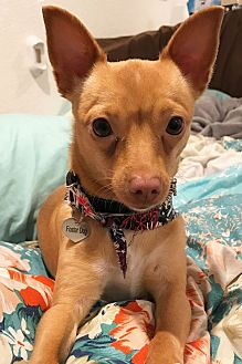 Chihuahua Mix Dog for adoption in Pleasanton, California - Sadie
