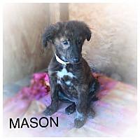 Adopt A Pet :: MASON - 10 WK SHEPHERD MALE - Mesa, AZ