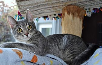 Domestic Shorthair Kitten for adoption in Michigan City, Indiana - Beemer