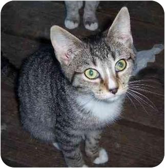 Domestic Shorthair Kitten for adoption in Marshfield, Missouri - Ralph