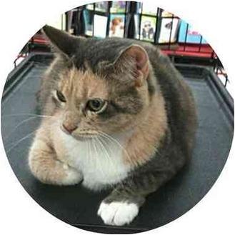 Calico Cat for adoption in Sugar Land, Texas - Lexi