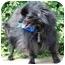 Photo 4 - Pomeranian Dog for adoption in Osseo, Minnesota - Tommy