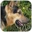 Photo 3 - German Shepherd Dog Mix Dog for adoption in Los Angeles, California - Jack von Nicholson