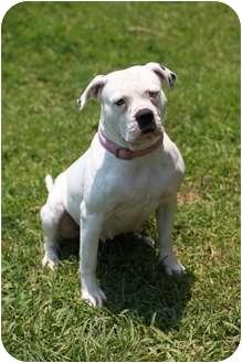 American Bulldog Dog for adoption in Miami, Florida - Eve