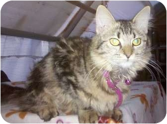 Domestic Mediumhair Cat for adoption in Longview, Texas - Frisco