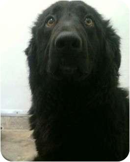 German Shepherd Dog Mix Puppy for adoption in BC Wide, British Columbia - Nikki