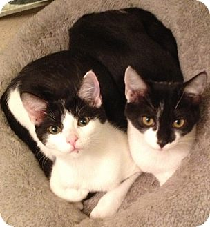 American Shorthair Kitten for adoption in Los Angeles, California - Spike & Biff- cuddle brothers