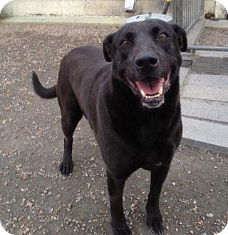 Labrador Retriever Mix Dog for adoption in Richmond, Virginia - Sophie