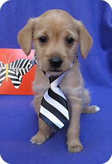 Spaniel (Unknown Type)/Terrier (Unknown Type, Small) Mix Puppy for adoption in Irvine, California - Firefly