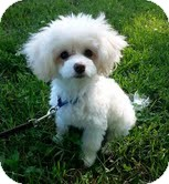 Maltese/Poodle (Miniature) Mix Puppy for adoption in Hagerstown, Maryland - Teddy Bear