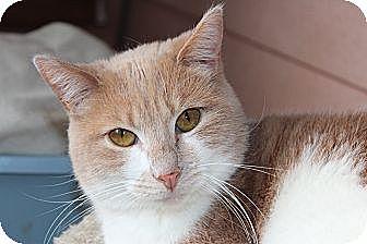 Domestic Shorthair Kitten for adoption in Santa Monica, California - Camille