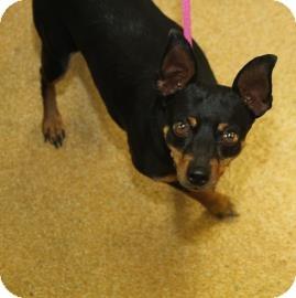 Miniature Pinscher Mix Dog for adoption in Philadelphia, Pennsylvania - Twelve