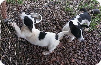 Basset Hound Mix Puppy for adoption in Sylva, North Carolina - Sisko & Kira