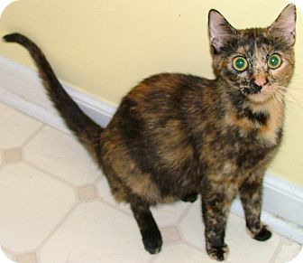 Domestic Shorthair Cat for adoption in Chattanooga, Tennessee - Lillian