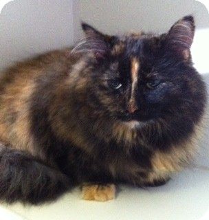 Himalayan Cat for adoption in Port Hope, Ontario - Faith