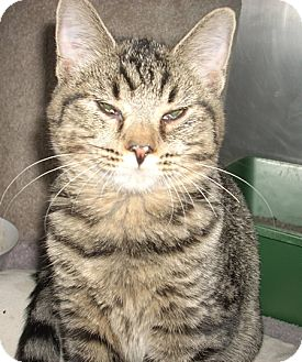 Domestic Shorthair Cat for adoption in Albion, New York - Reese