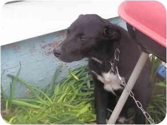 Labrador Retriever/Cocker Spaniel Mix Puppy for adoption in Litchfield, Illinois - Buddy