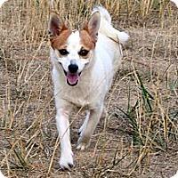Adopt A Pet :: Foxy - Westfield, IN