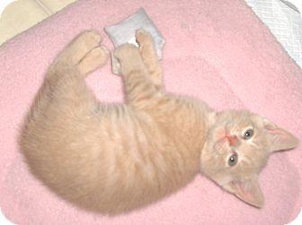 Domestic Shorthair Kitten for adoption in Richmond, Virginia - Luke