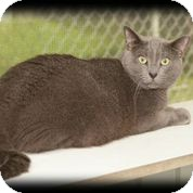 Domestic Shorthair Cat for adoption in Brooksville, Florida - Silver