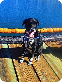 Labrador Retriever Mix Dog for adoption in Gig Harbor, Washington - Calli