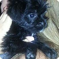 Adopt A Pet :: Jimmy - adorable shih tzu pup - Phoenix, AZ