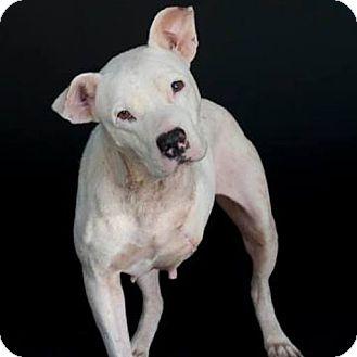 Pit Bull Terrier/Labrador Retriever Mix Dog for adoption in Houston, Texas - Magic