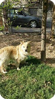 Chow Chow Mix Dog for adoption in Philadelphia, Pennsylvania - Buddy