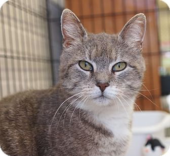 Domestic Shorthair Cat for adoption in Ocean City, New Jersey - Victoria