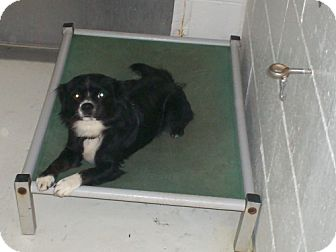 Cavalier King Charles Spaniel Mix Dog for adoption in Newburgh, Indiana - Rhea pending