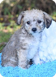 Poodle (Toy or Tea Cup)/Terrier (Unknown Type, Small) Mix Puppy for adoption in Denver, Colorado - Avery