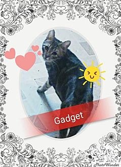 Domestic Mediumhair Kitten for adoption in San Bernardino, California - Gadget