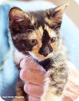 Domestic Shorthair Kitten for adoption in Huntsville, Alabama - Shuttle