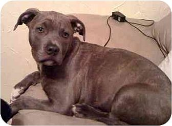 American Staffordshire Terrier Mix Puppy for adoption in Lavon, Texas - Millie