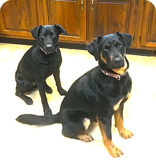 Labrador Retriever Mix Dog for adoption in Irwin, Pennsylvania - Nina and Lola