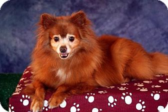 Pomeranian Dog for adoption in Dallas, Texas - Kiwi