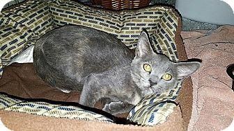 Domestic Shorthair Kitten for adoption in Tampa, Florida - Lisa