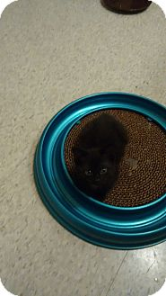 Domestic Shorthair Kitten for adoption in Cambridge, Ontario - Hiccup
