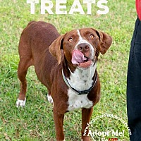 Pointer/Boxer Mix Dog for adoption in Pearland, Texas - Marley