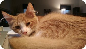 Maine Coon Kitten for adoption in Richmond, Virginia - Murph