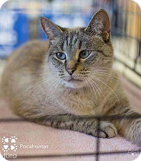 Siamese Cat for adoption in Merrifield, Virginia - Pocahontas