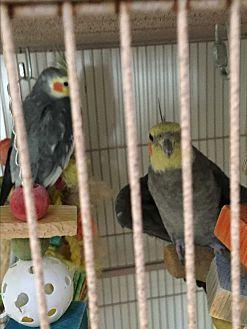 Cockatiel for adoption in Punta Gorda, Florida - Flock of 5 Cockatiels & 1 Keet