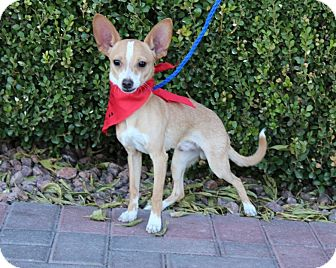 Chihuahua Mix Puppy for adoption in Las Vegas, Nevada - EARS