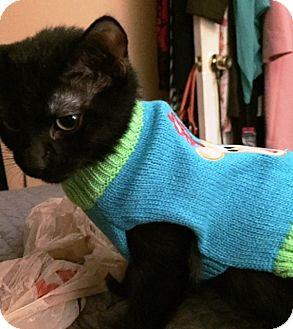 Bombay Cat for adoption in Houston, Texas - Duey
