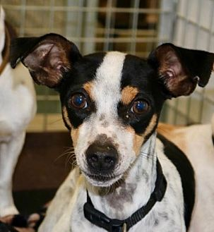Chihuahua/Terrier (Unknown Type, Medium) Mix Dog for adoption in Willows, California - MICKEY