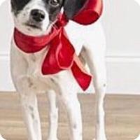 Adopt A Pet :: Tinker in Dallas - Austin, TX