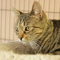 Domestic Shorthair Cat for adoption in Gettysburg, Pennsylvania - Jessie