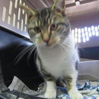 Domestic Shorthair/Domestic Shorthair Mix Cat for adoption in Robinson, Illinois - Izzy