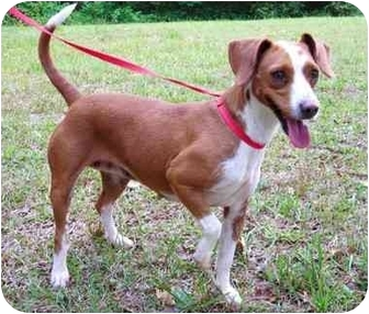 Jack Russell Terrier/Beagle Mix Dog for adoption in Peachtree City, Georgia - Pixie