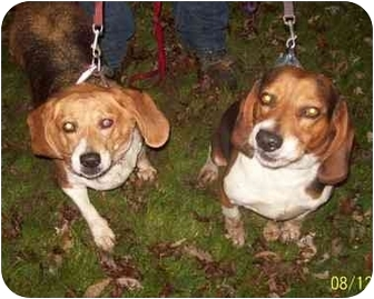 Beagle Dog for adoption in Dunkirk, New York - Luke